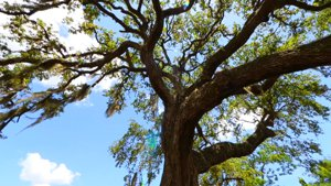 The shade from the towering old oak at 2712 Nassau Street in Sarasota