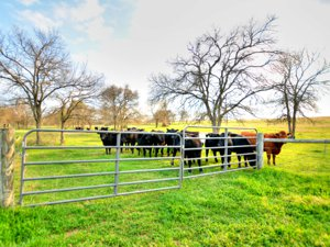 Austin TX Area Ranches Cattle