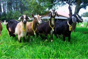 Hawaii Island Goat Dairy