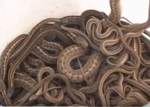 Bucket of snakes caught in Rexburg