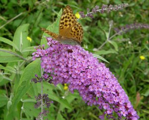 Tri-Color Butterfly Bush