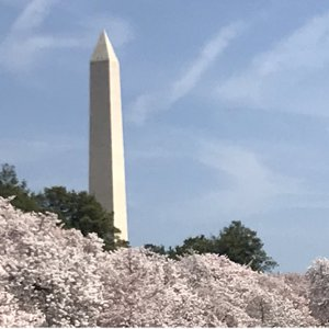 Cherry Blossoms line DC real estate and McLean Gardens Properties