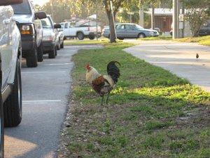 Oviedo Chickens