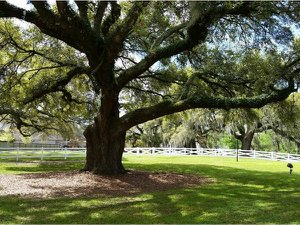 oak trees in Seven Oaks subdivision in Prairieville, LA