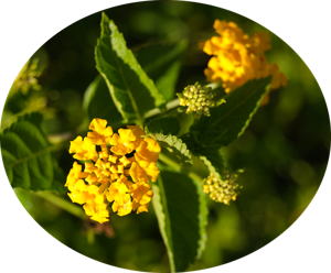 small yellow flowers and green leaves