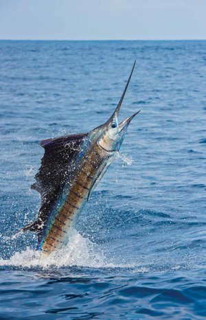 Stuart Houses For Sale Sailfish Caught