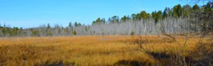 Folsom NJ White Cedars