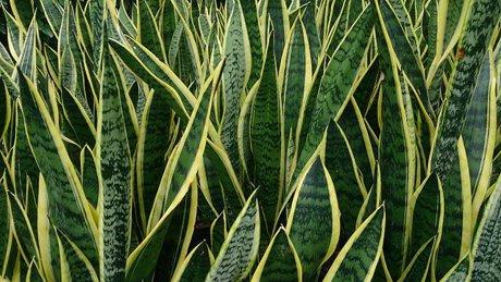 Snake Plant Boise Idaho
