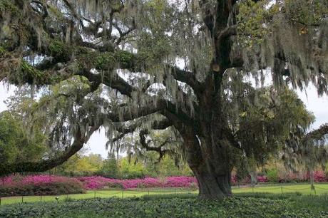 Airlie Gardens Live Oak Tree