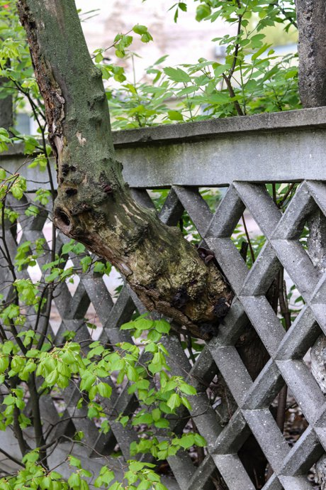 """Photograph of overgrown bushes or trees damage the concrete fence of the garden to illustrate, """"How To Handle Encroaching Trees From Your Neighbor's Yard""""."""