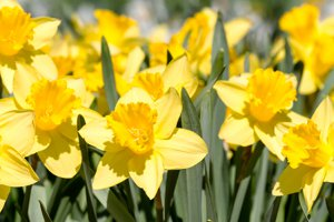 See Texas Daffodils Near Rowlett Real Estate