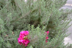 Rosmary and Bounganvillea from a Houston, TX 77005 container gardern